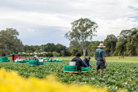 Fruit pickers at Strawberry Field