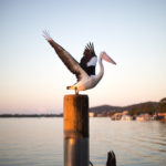 Pelicans Along the Noosa River