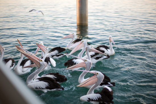 Pelicans being fed off jetty
