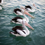 Pelicans in the water on Noosa River