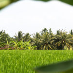 Looking across rice fields at banana trees, Beraban countryside