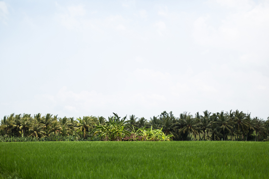 Landscape Image of rice fields and banana trees, Beraban countryside