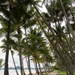 Palm trees lining beach in Palm Cove, Australia