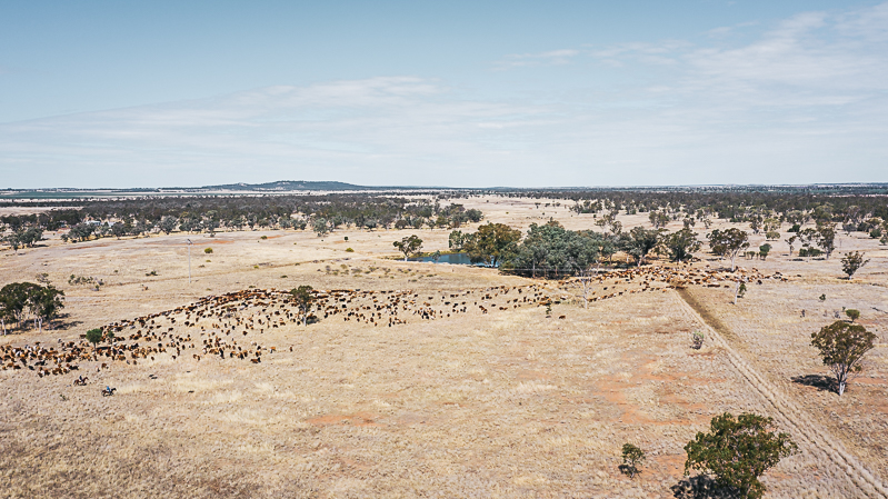 Aerial view of cattle herding