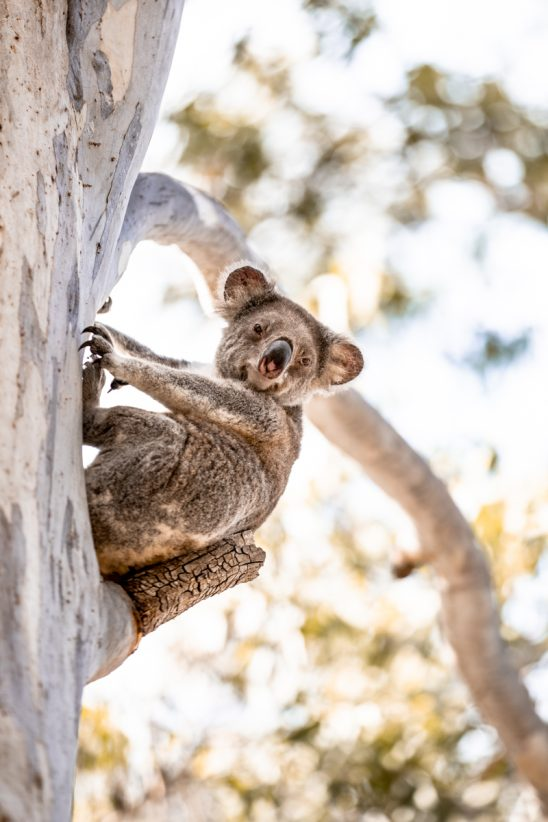 Koala saying hello on North Stradbroke Island