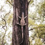 "<span itemprop=""name"">Lace Monitor Goanna up a tree at Carnarvon Gorge</span>"