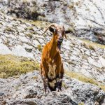 "<span itemprop=""name"">Mountain goats along the Cares Gorge in De Europa National Park Northern Spain</span>"